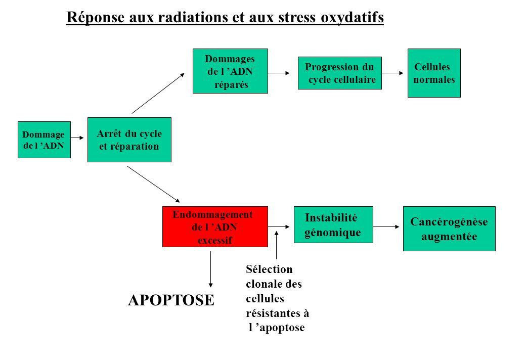 Réponse aux radiations et aux stress oxydatifs