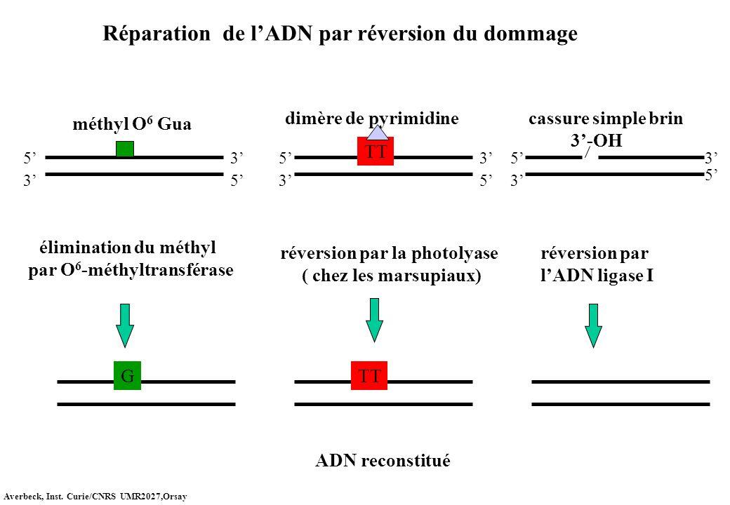 par O6-méthyltransférase réversion par la photolyase