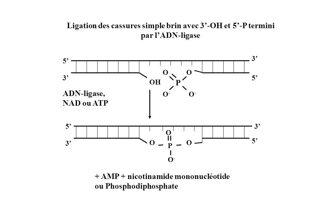 Ligation des cassures simple brin avec 3'-OH et 5'-P termini