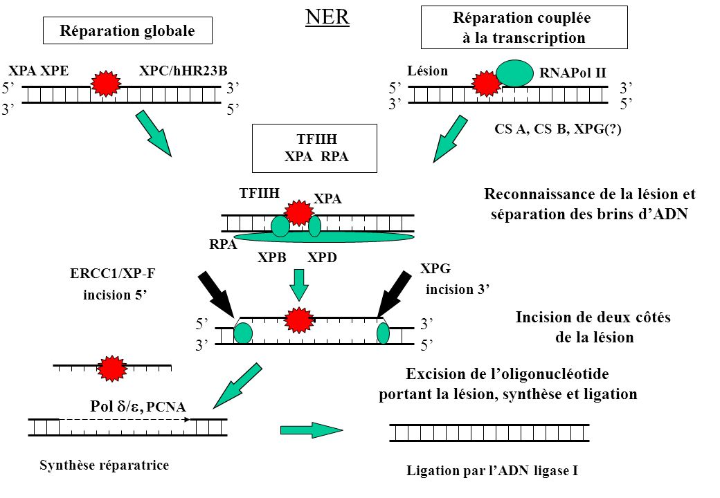 NER Réparation couplée à la transcription Réparation globale 5' 3' 5'