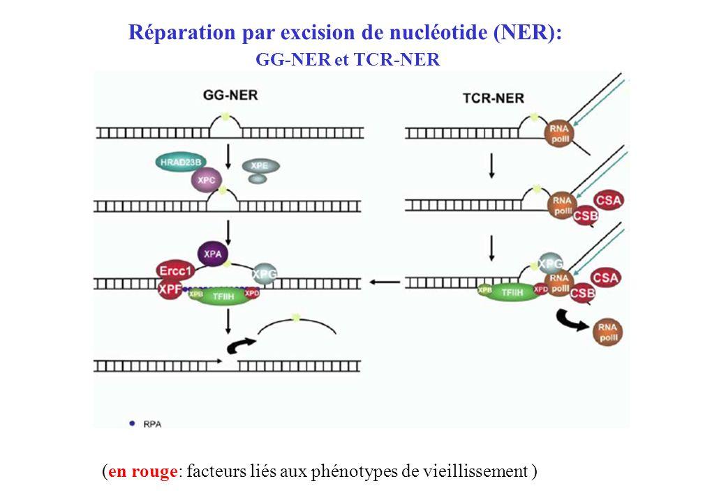 Réparation par excision de nucléotide (NER):