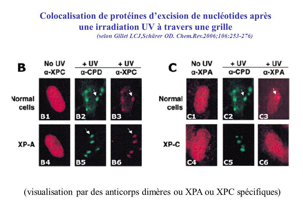 Colocalisation de protéines d'excision de nucléotides après