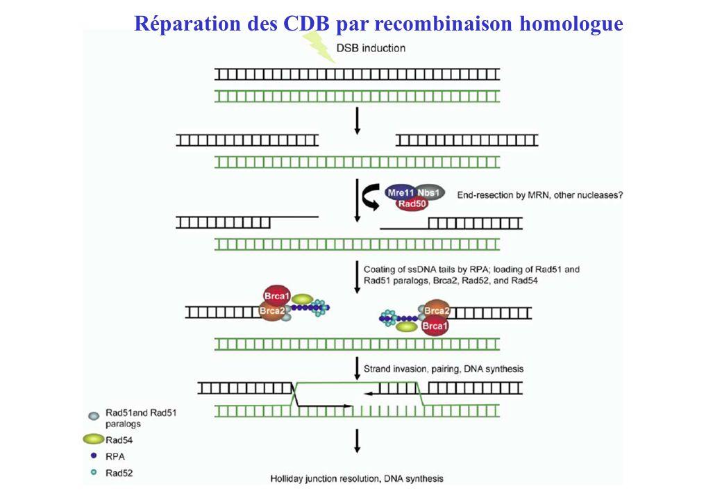 Réparation des CDB par recombinaison homologue