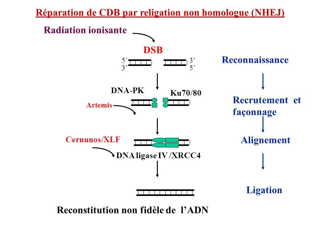 Réparation de CDB par religation non homologue (NHEJ)