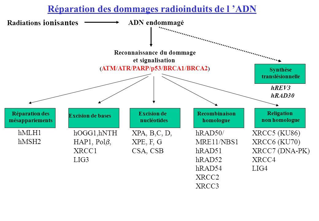 Reconnaissance du dommage (ATM/ATR/PARP/p53/BRCA1/BRCA2)