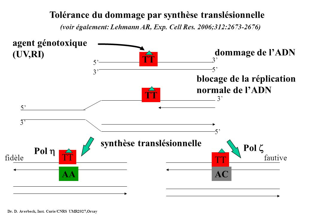 Tolérance du dommage par synthèse translésionnelle