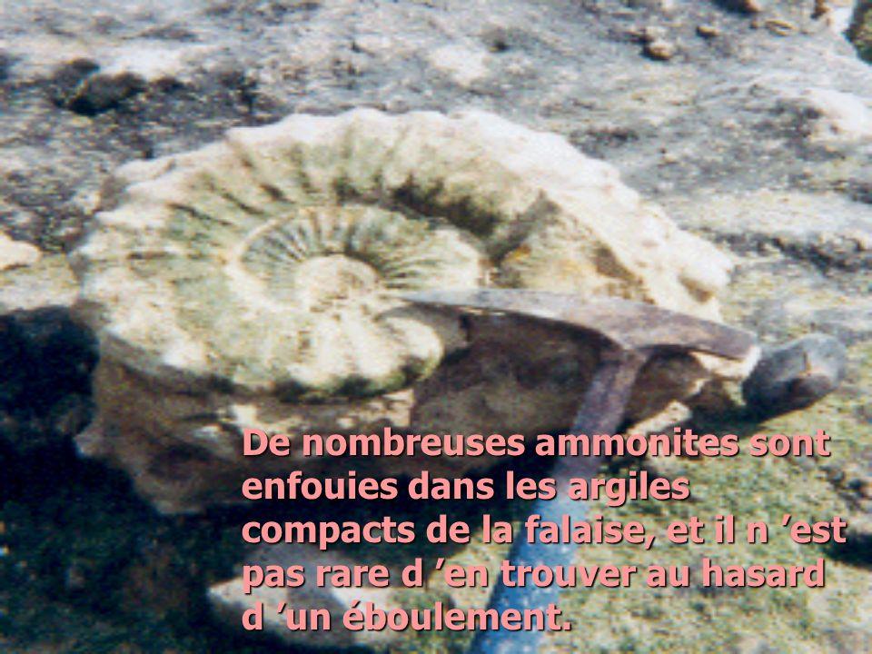 De nombreuses ammonites sont enfouies dans les argiles compacts de la falaise, et il n 'est pas rare d 'en trouver au hasard d 'un éboulement.