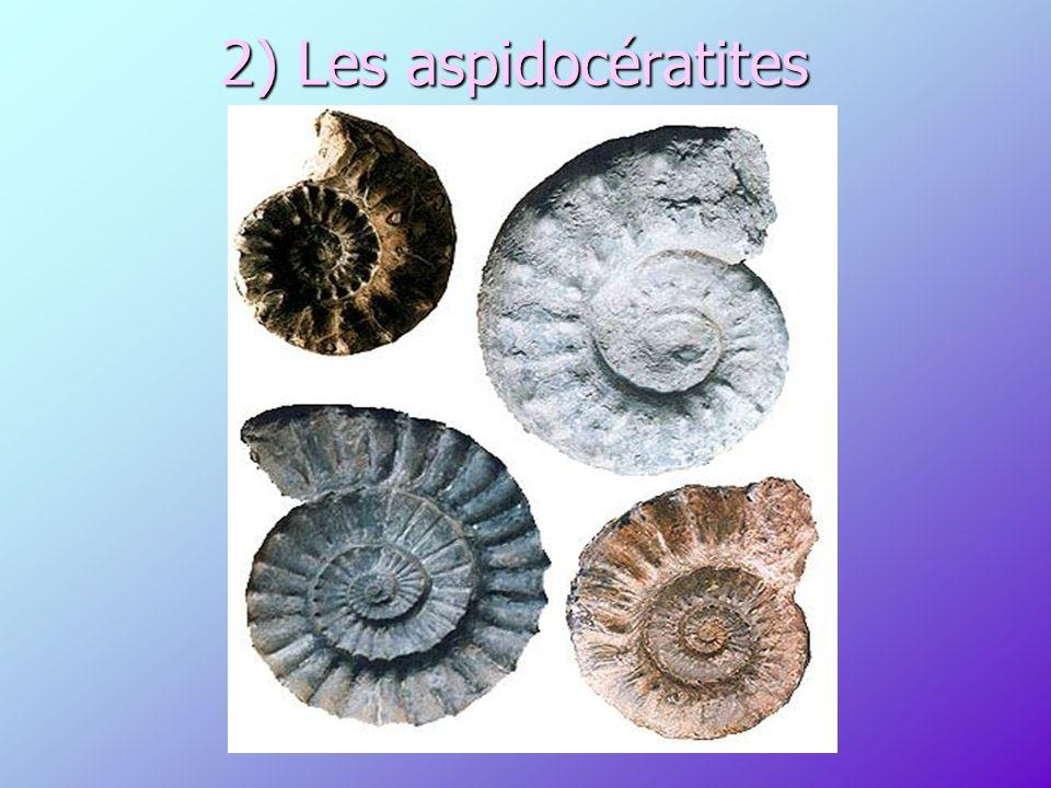 2) Les aspidocératites