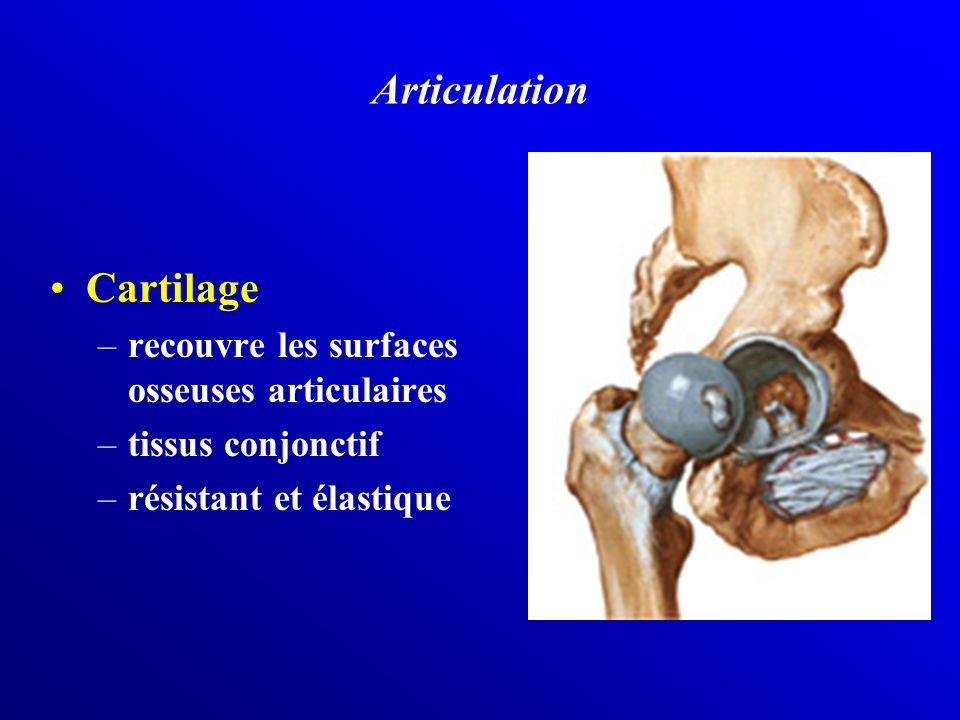 Articulation Cartilage recouvre les surfaces osseuses articulaires