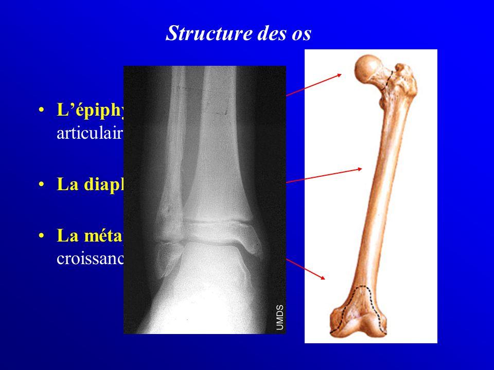 Structure des os L'épiphyse = extrêmité articulaire