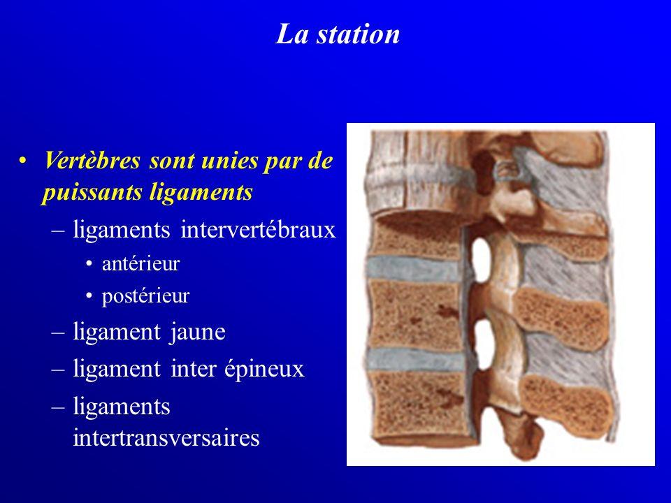 La station Vertèbres sont unies par de puissants ligaments
