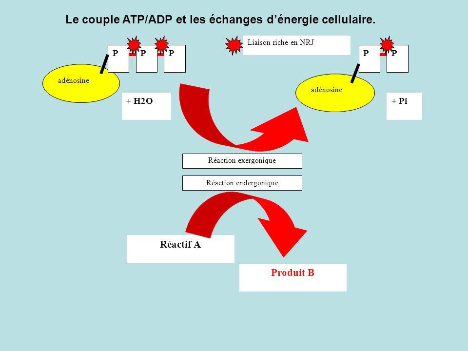 Le couple ATP/ADP et les échanges d'énergie cellulaire.