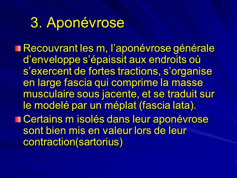 3. Aponévrose