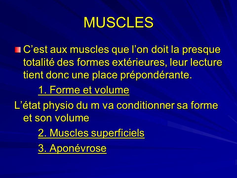 MUSCLES C'est aux muscles que l'on doit la presque totalité des formes extérieures, leur lecture tient donc une place prépondérante.