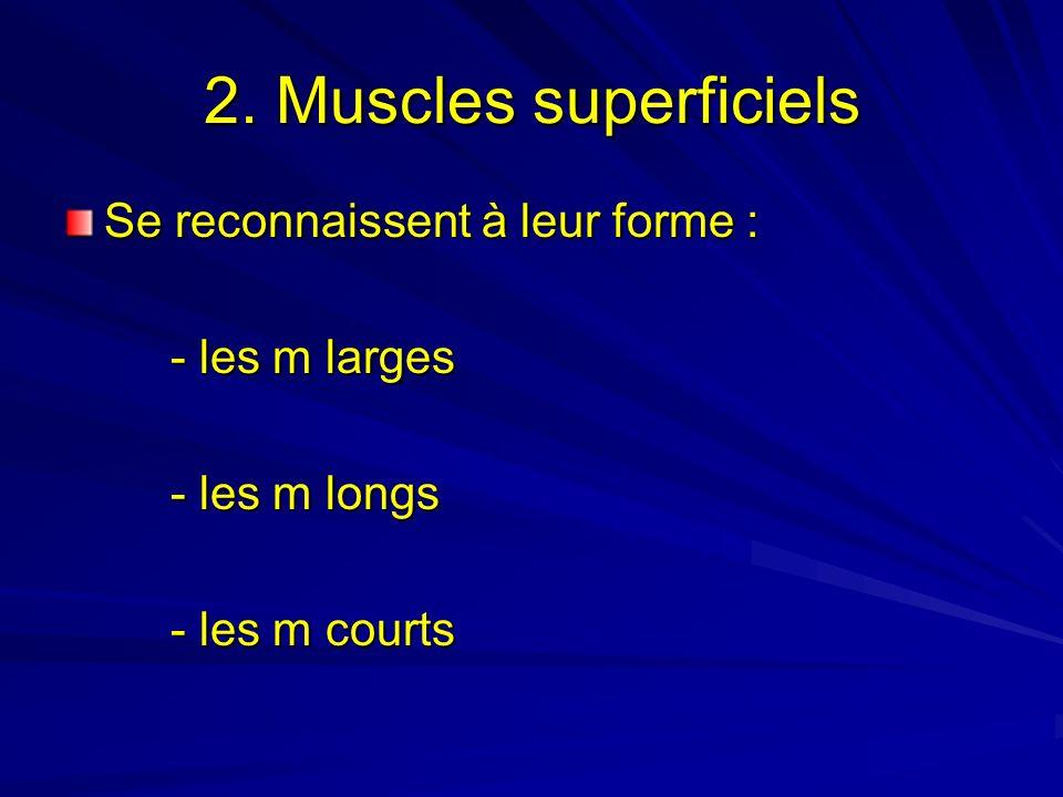 2. Muscles superficiels Se reconnaissent à leur forme : - les m larges