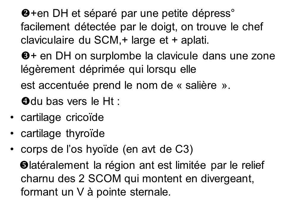 +en DH et séparé par une petite dépress° facilement détectée par le doigt, on trouve le chef claviculaire du SCM,+ large et + aplati.