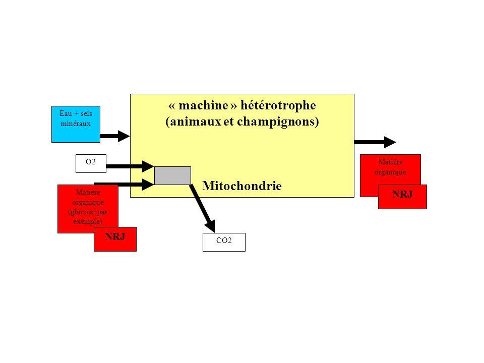 « machine » hétérotrophe (animaux et champignons)