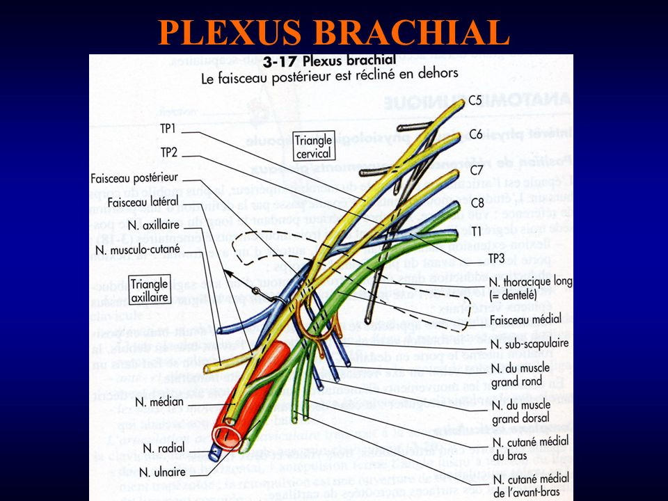 PLEXUS BRACHIAL. - ppt video online télécharger