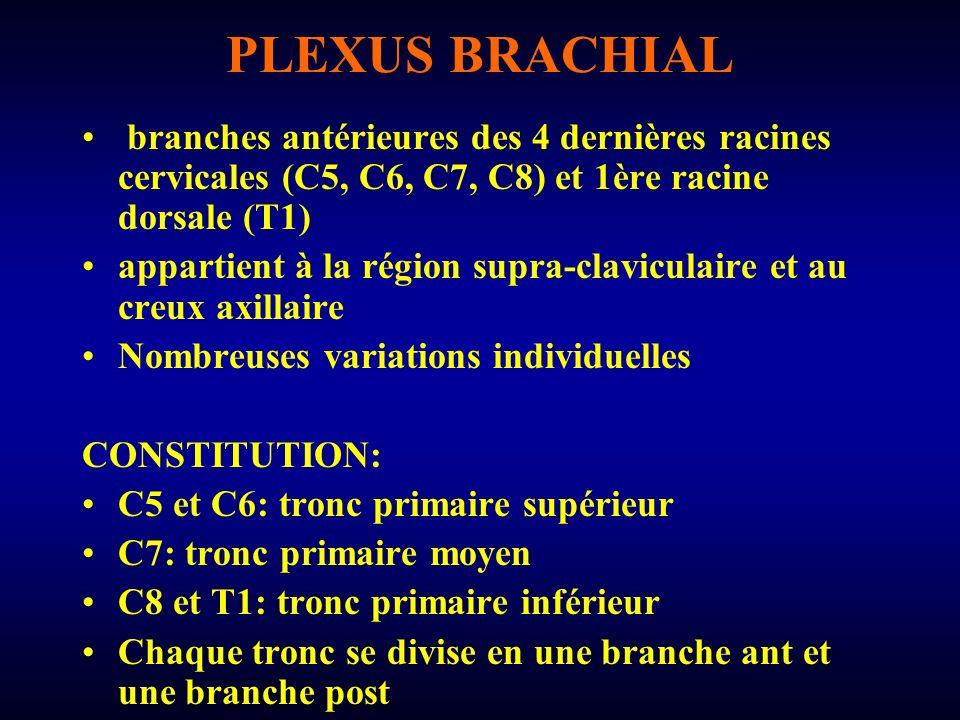 PLEXUS BRACHIAL branches antérieures des 4 dernières racines cervicales (C5, C6, C7, C8) et 1ère racine dorsale (T1)