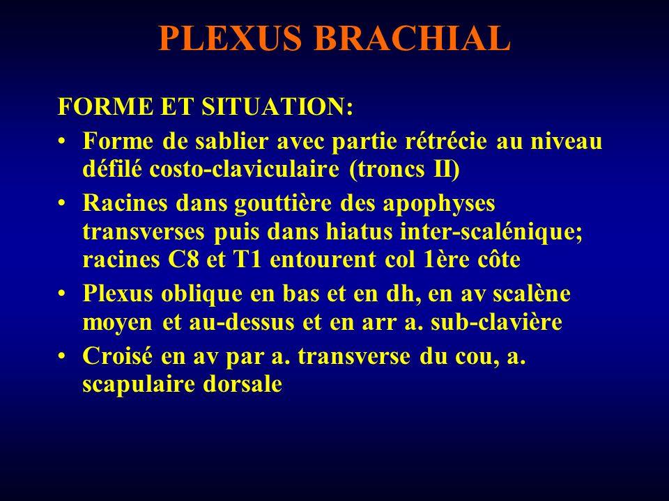 PLEXUS BRACHIAL FORME ET SITUATION: