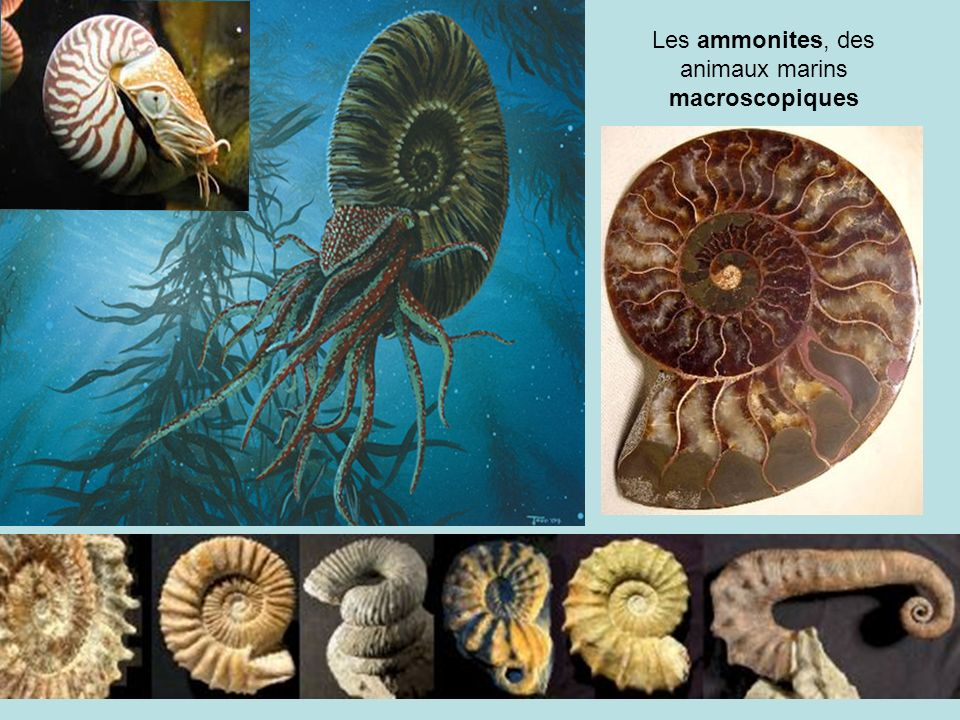 Les ammonites, des animaux marins macroscopiques