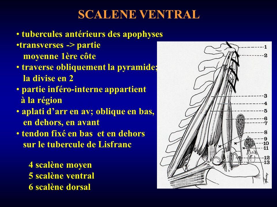 SCALENE VENTRAL tubercules antérieurs des apophyses