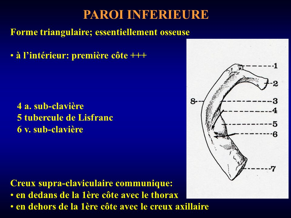PAROI INFERIEURE Forme triangulaire; essentiellement osseuse