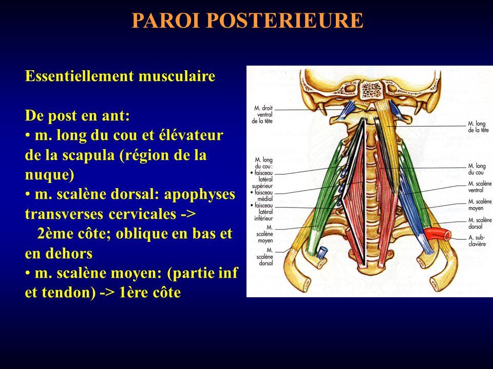 PAROI POSTERIEURE Essentiellement musculaire De post en ant: