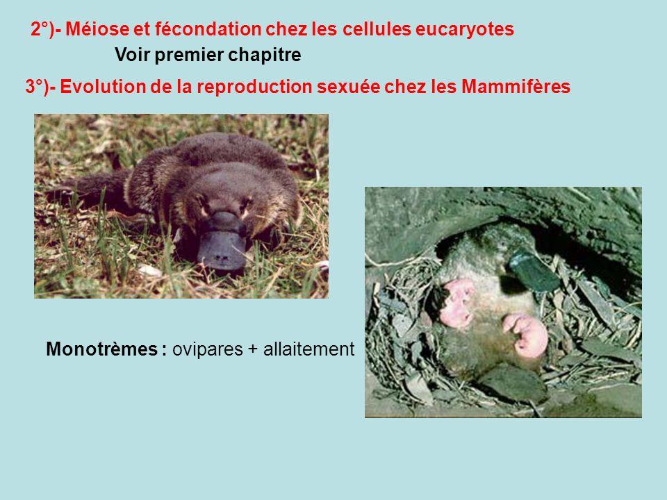 2°)- Méiose et fécondation chez les cellules eucaryotes