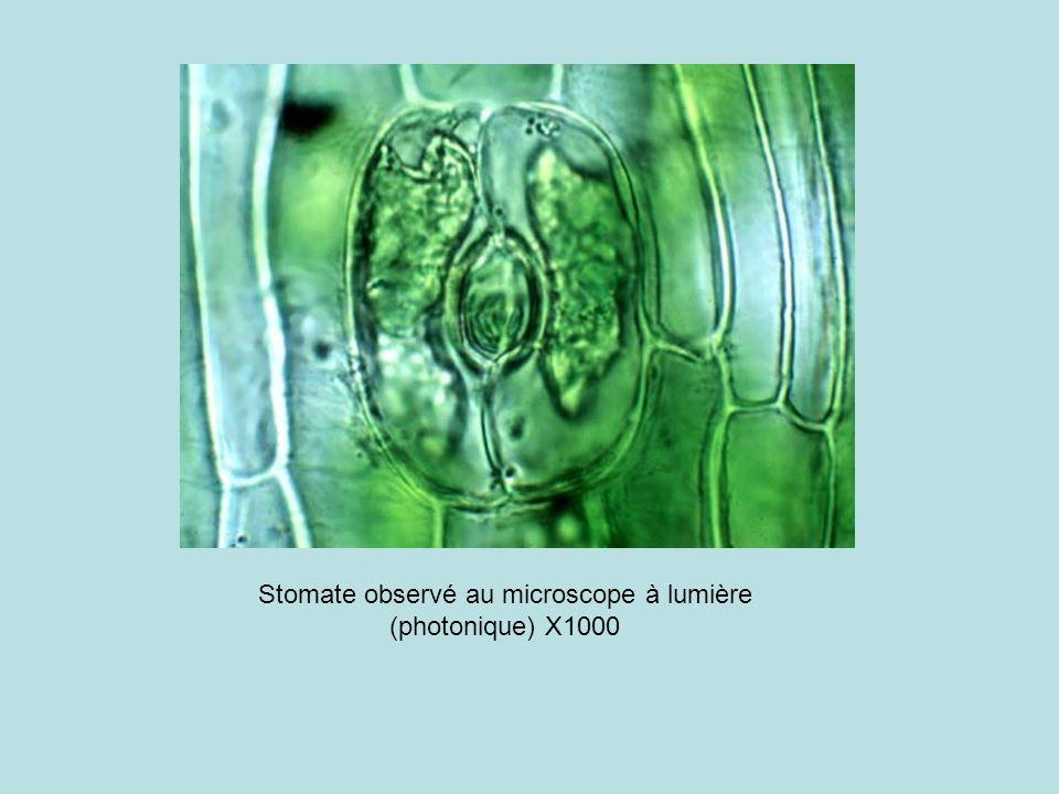 Stomate observé au microscope à lumière (photonique) X1000