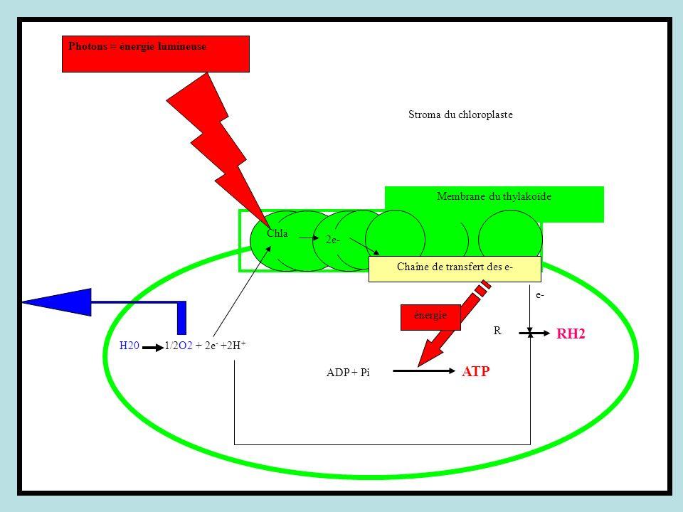 RH2 Photons = énergie lumineuse Stroma du chloroplaste