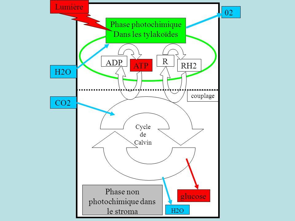 Phase non photochimique dans le stroma