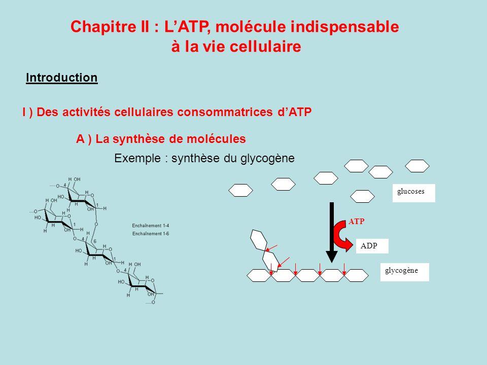 Chapitre II : L'ATP, molécule indispensable à la vie cellulaire