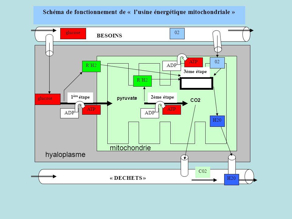 Schéma de fonctionnement de « l'usine énergétique mitochondriale »