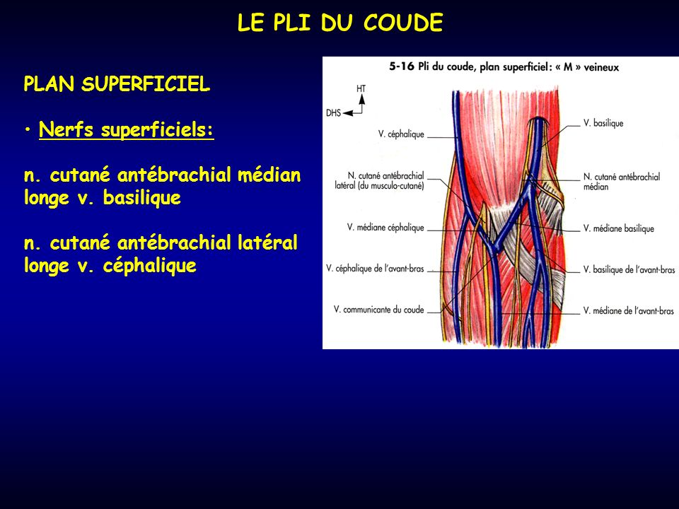 LE PLI DU COUDE PLAN SUPERFICIEL Nerfs superficiels: