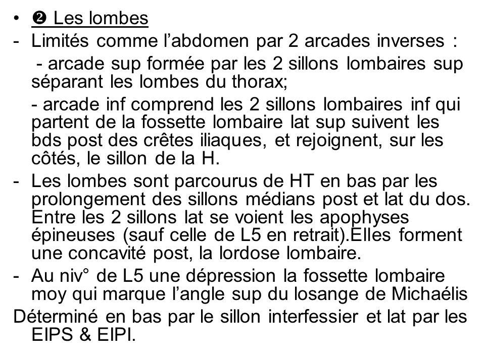  Les lombes Limités comme l'abdomen par 2 arcades inverses : - arcade sup formée par les 2 sillons lombaires sup séparant les lombes du thorax;