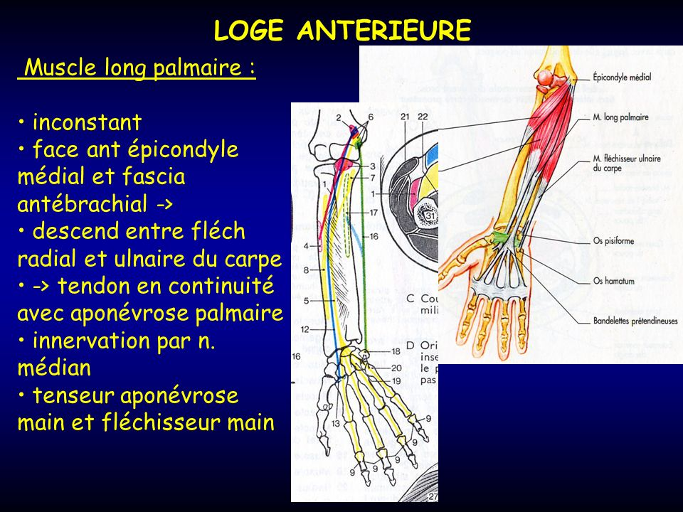 LOGE ANTERIEURE Muscle long palmaire : inconstant
