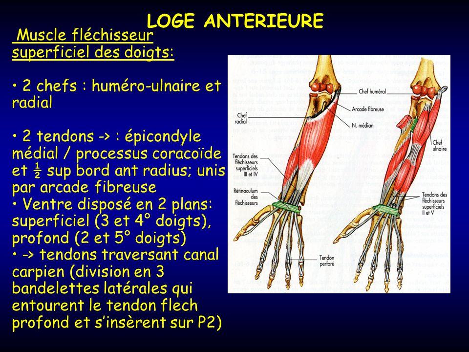 LOGE ANTERIEURE Muscle fléchisseur superficiel des doigts: