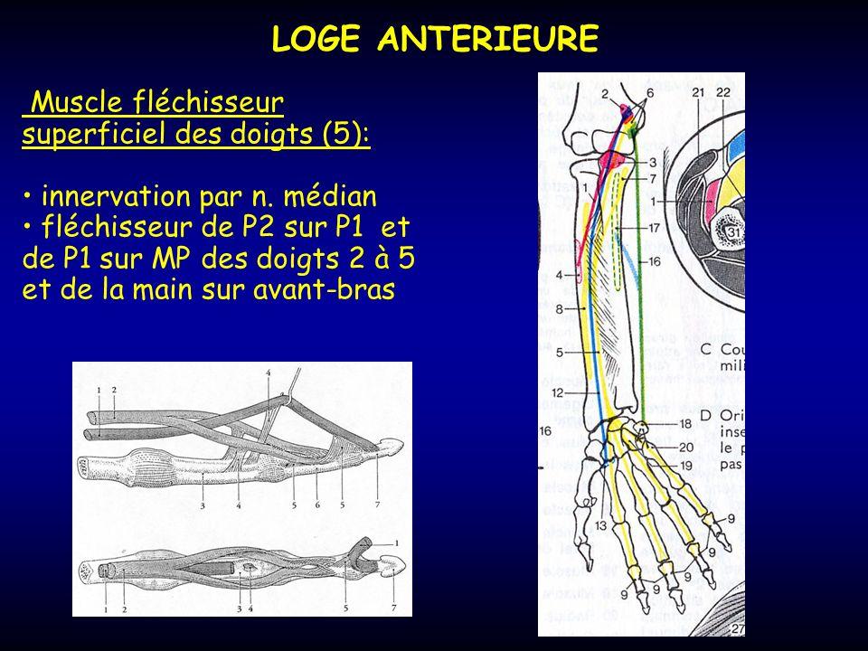 LOGE ANTERIEURE Muscle fléchisseur superficiel des doigts (5):