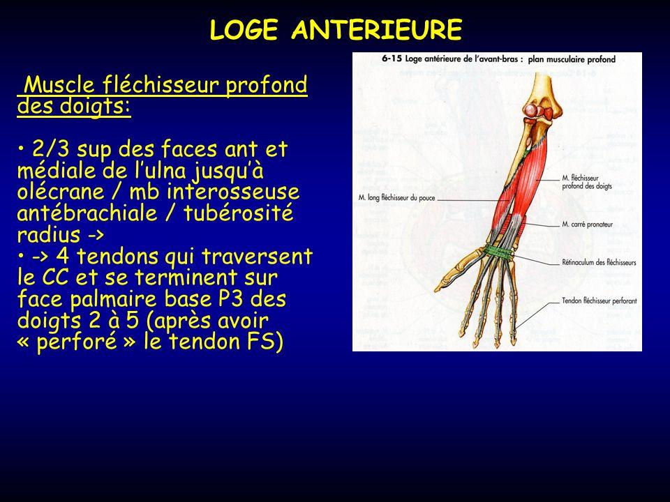 LOGE ANTERIEURE Muscle fléchisseur profond des doigts: