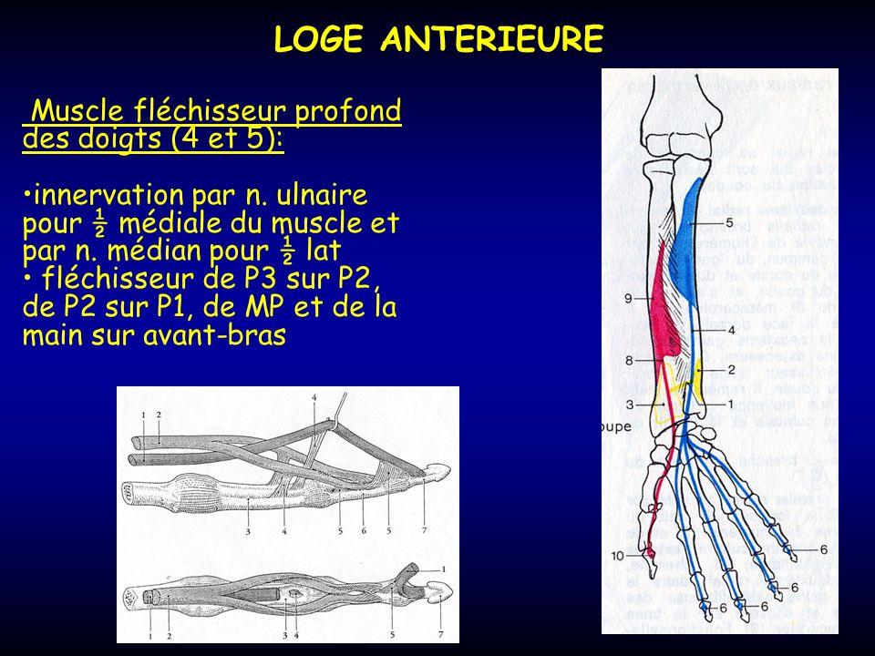 LOGE ANTERIEURE Muscle fléchisseur profond des doigts (4 et 5):