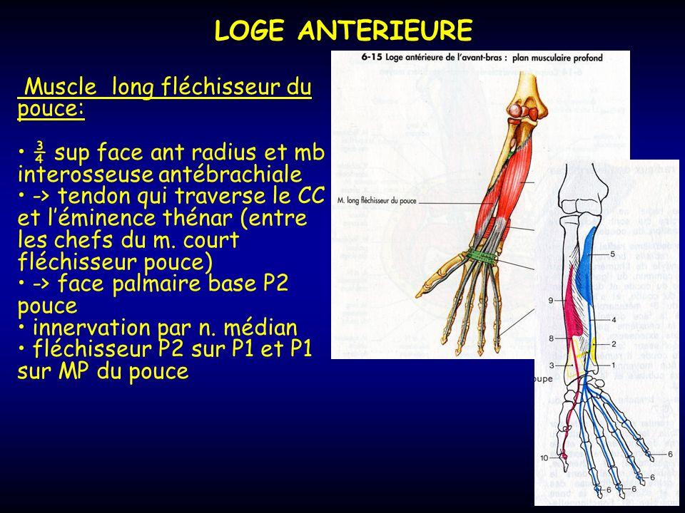 LOGE ANTERIEURE Muscle long fléchisseur du pouce: