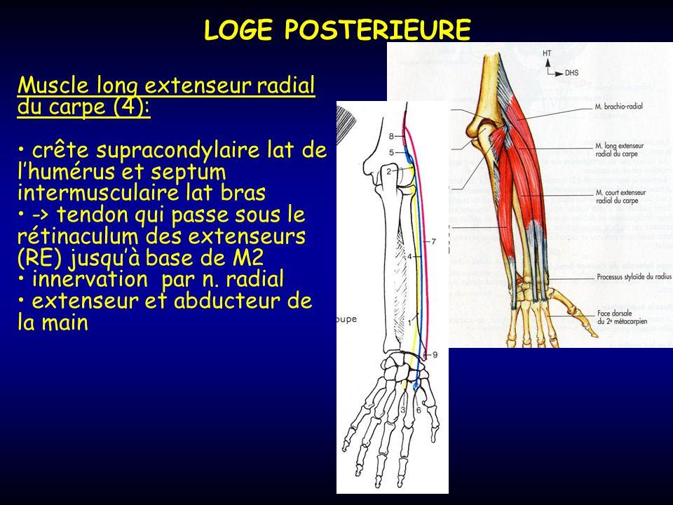 LOGE POSTERIEURE Muscle long extenseur radial du carpe (4):