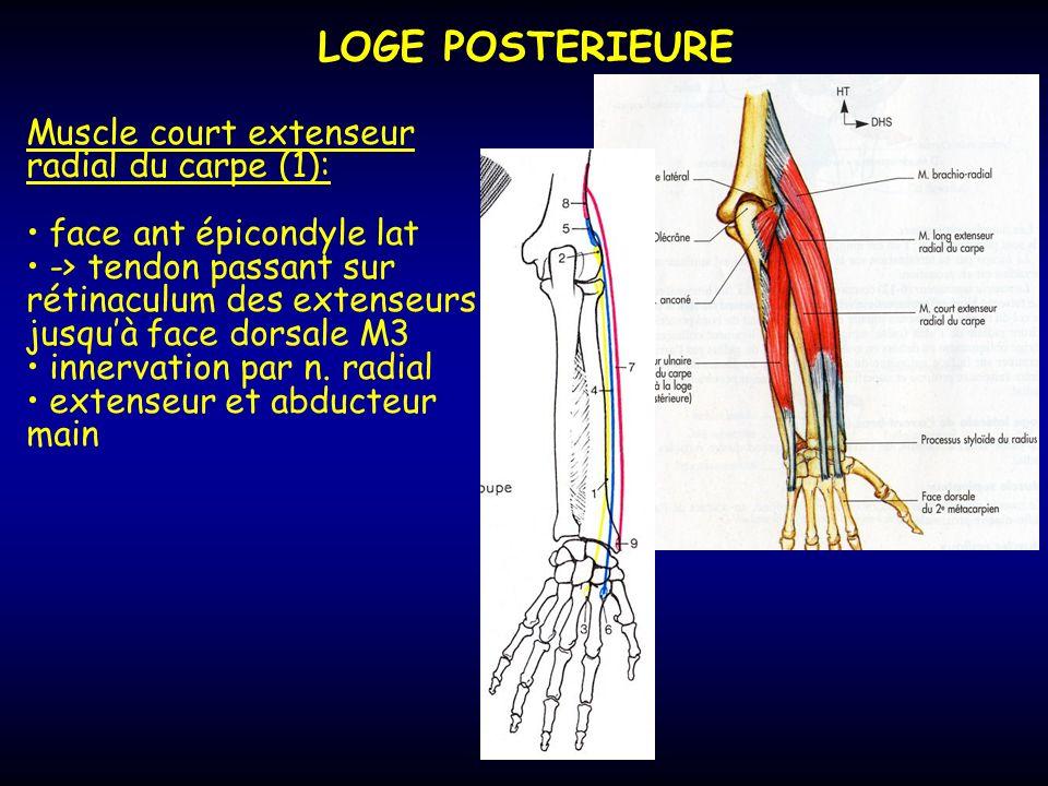 LOGE POSTERIEURE Muscle court extenseur radial du carpe (1):