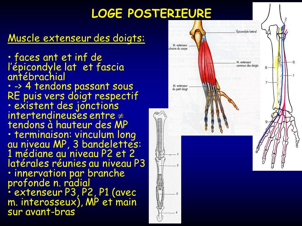 LOGE POSTERIEURE Muscle extenseur des doigts:
