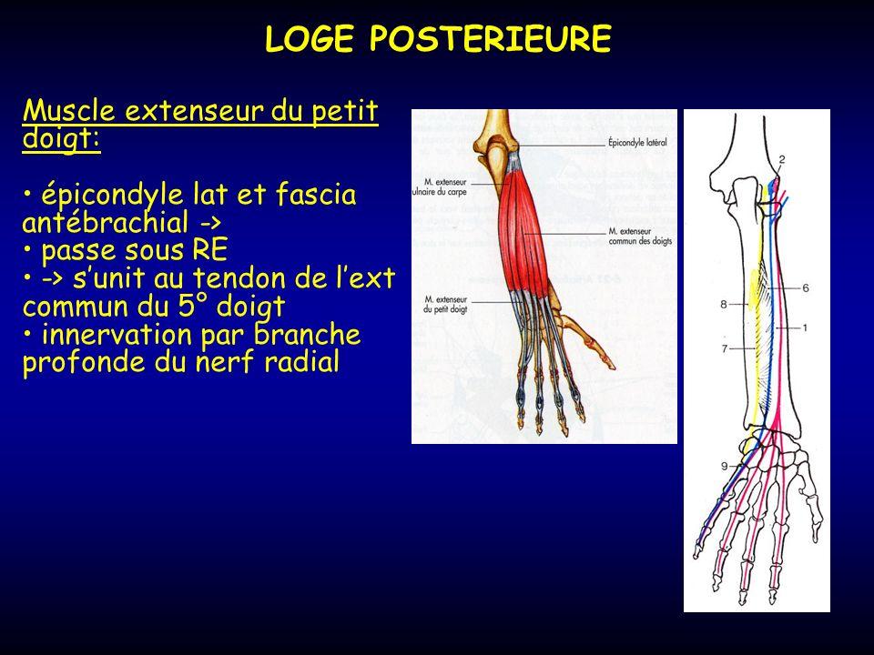 LOGE POSTERIEURE Muscle extenseur du petit doigt: