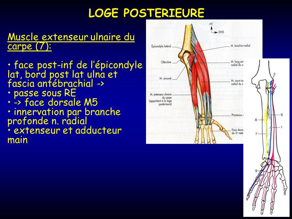 LOGE POSTERIEURE Muscle extenseur ulnaire du carpe (7):