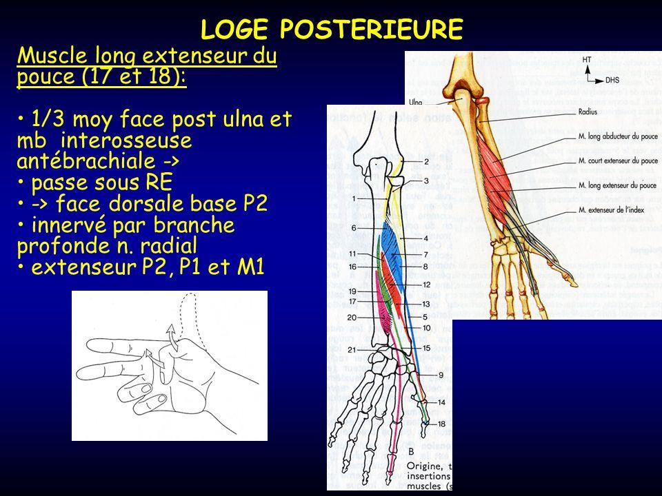LOGE POSTERIEURE Muscle long extenseur du pouce (17 et 18):