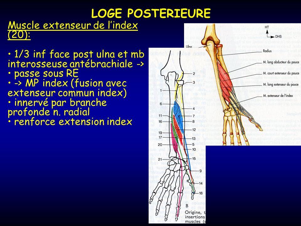 LOGE POSTERIEURE Muscle extenseur de l'index (20):
