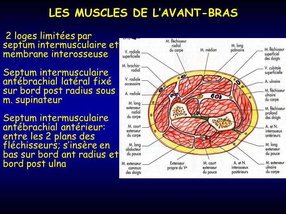 LES MUSCLES DE L'AVANT-BRAS